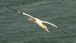 Gannet diving for fish (Explored)