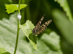 Speckled Wood (@JBOccyTherapy) Tags: green hairstreak comma holly blue speckled wood orange tip small copper veined white butterfly butterflies nature wildlife woodland meadow insects flowers walk ravenswood group suffolk