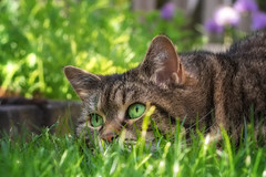 Spring Green (FocusPocus Photography) Tags: cleo katze cat chat gato tier animal haustier pet tabby rasen lawn grün green gras grass