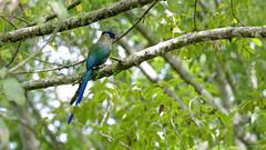 Pajaro barranquero (JOMAGACOL) Tags: bird ave birding green tree arbol blue eye red barranquero barranquillero