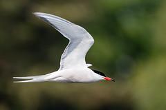 Common Tern (Unintended_Keith) Tags: commontern birdinflight bird nature wildlife canon1dx sigma150600mms wokingham berkshire