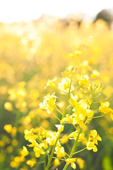 297 of 365: Bohemian Rapeseedy (tainkeh) Tags: 2018 spring landscape nature denmark rapeseed rural weather colour agriculture sun summer warm rape europe farm 365 cheerful may thursday field 365project visitdenmark color landskab project365