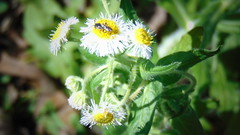 Small World (Bell Jaco) Tags: flower flowers bugs green stems leaves bug white yellow small closeup