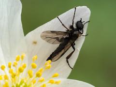 Fliege in Annemonen-Blüte (dr.klaustrumm) Tags: blüte buschwindröschen natur frühling