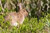 ©Mark Kras-Konijn-_DWL2953.jpg (markkras-fotografie) Tags: zoogdieren konijn fauna europeanrabbit oryctolaguscuniculus nederland nl