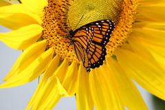 Monarch on Sunflower (pegase1972) Tags: quebec qc québec sunflower tournesol fleur flower flora nature montérégie monteregie eyeem shutterstock shutter