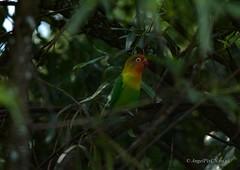 _DSC4919 (AngelPixCn) Tags: angepixcn birds farm feathers green hennopsriver nikond7100 pet southafrica tree wildlife wings centurion gauteng za