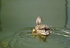 Mother and baby (Jurek.P) Tags: birds bird duck mallardduck kaczkakrzyżówka dzikakaczka baby kępapotocka park citypark warsaw warszawa poland polska jurekp sonya77
