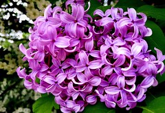 Flora 2018.04.28. Purple Magic - Lilac Blossom, Fliederblüte - 1.1 (Rainer Pidun) Tags: flora blüten blossoms flieder lilac