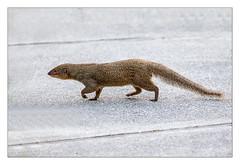 Day 121/365  Mongoose (billnbrooks) Tags: fiveislandsvillage saintjohn antiguaandbarbuda ag