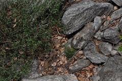 Vipera aspis francisciredi (aspisatra) Tags: vipera aspis francisciredi ticino vipère vipere snake serpente serpent viper redi comune