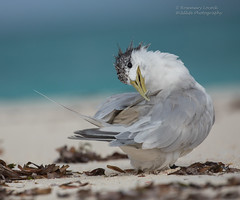 Greater Crested Tern - Thalasseus bergii (rosebudl1959) Tags: 2016 birdisland birds seychelles greatercrestedtern november