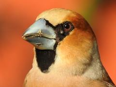 Hawfinch with ticks. (eerokiuru) Tags: hawfinch coccothraustescoccothraustes kernbeisser suurnokkvint bird backyardbirds p900 nikoncoolpixp900