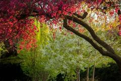 Pink Blossom Overhang (Julian Barker) Tags: pink blossom overhang dovecote park beeston nottingham nottinghamshire england east midlands uk flora europe flowers spring greenery garden evening light canon dslr julian barker