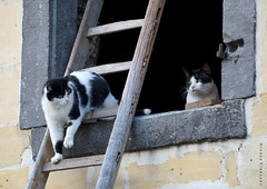 Farmcats (Ineke Klaassen) Tags: cats cat kat katten campingwaalheimerfarm walem boerderijkatten farm kattenzolder dieren boerderijkat boerderij waalheimerfarm huisdieren pets pet huisdier animal animals dier dierenfoto animalphotography limburg zuidlimburg sony sonyimages sonya6000 sonyalpha sonyalpha6000 sonyilce6000 ilce 2550fav 25faves 25fav