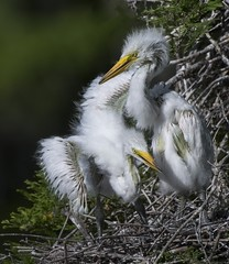 Great Egret chicks! (Christine Fusco) Tags: red greategretbabies chicks egret southcarolina charleston fuzz wader marsh thelowcountry swamp naturephotographer birdphotography christinefusco