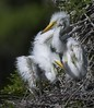 Great Egret chicks! (Christine Fusco) Tags: red greategretbabies chicks egret southcarolina charleston fuzz wader marsh thelowcountry swamp naturephotographer birdphotography christinefusco