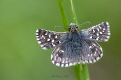 Hespérie de la mauve (Pyrgus malvae) (lolo_31) Tags: hesperiidae hespériedelamauve letacheté papillondejour pyrginae pyrgusmalvaelinnaeus1758 rhopalocères
