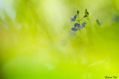 IMG_8355 Essonne - Véronique petit-chêne - Veronica chamaedrys (fabianvol) Tags: france francia forêt forest bosque plante plant planta fleur flower flor