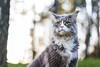 Bokeh (Karolina Demczuk) Tags: cat maine coon mco fluffy longhair pet animal portrait blue tabby eyes fun outdoors nature grass tree field forest