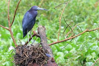 Little Blue Heron Nesting