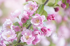 Malus 'Snowcloud' (Jacky Parker Flower Photography) Tags: malussnowcloud malusblossom springblossom blossom spring2018 flowers pink closeup freshness selectivefocus springgarden floralart flowerphotography beautyinnature