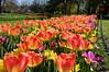 Spring Flowers (fotofish64) Tags: flower plant flora bloom tulip colorful color park washingtonpark urban urbannature downtown albany albanycounty springtime spring seasonal outdoor beauty pentax pentaxart kp kmount primelens hdpentaxda21mmlimitedlens nature 21mm