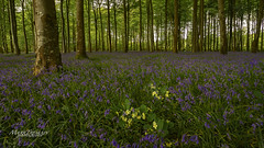Polly's in the middle (Through-my-eyes.) Tags: bluebells bluebell polyanthus trees tree woods wood leaves flowers flower trunks branches stroll plymouth woodland