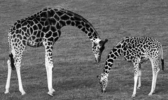 Mother and Calf (f_gray1) Tags: zoo nature wildlife giraffe calf baby african animal grass monochrome black white pattern photo photograph
