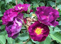 Rosa 002. (Joanbrebo) Tags: parccervantes barcelona rosa rose flowers flors fiori flores parc parque park garden jardí jardín iphonex iphone365