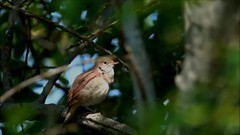 Rossignol Philomèle A (Ezzo33) Tags: luscinia megarhynchos france gironde nouvelleaquitaine bordeaux ezzo33 nammour ezzat sony rx10m3 parc jardin oiseau oiseaux bird birds specanimal rossignol philomèle