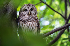 A Barred Owl near the Nature Center in Rock Creek Park, Washington DC (Lorie Shaull) Tags: bird owl barredowl rockcreekpark washingtondc nature wildlife strixvaria