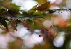 Na de regen (Schagie) Tags: esdoorn maple leafs bladeren regendruppels raindrops druppels drops bkeh tree trees boom bomen natuur mooi beauty backyard achtertuin
