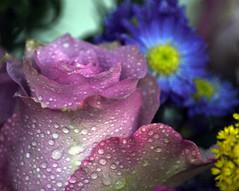 Colours of Spring (Bouquet) cont (Rachela B) Tags: droplets rose petals bouquet floral spring