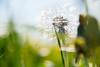 Dandelion (Maria Eklind) Tags: countryside maskros skåne landscape rapeseedfield rapeseed outdoor malmö dandelion oxie field skånelän sverige se macromademoiselle