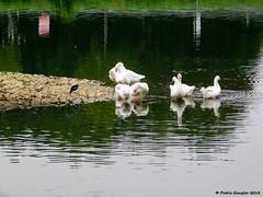 DSCN9022_1.2_reduziert_komprimiert (patric.gangler) Tags: vögel enten fluss river saar saarbrückengüdingen tierfotografie animalsphotography naturfotografie naturephotography nikonfotografie nikonphotography nikonphotographers coolpixusers coolpixers nikon coolpix b500