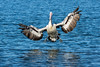 Elegance and Grace (Nature's Image Photography) Tags: pelican flight landing wings makinganentrance