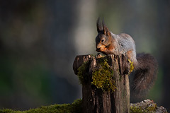 Squirrel (jajjen) Tags: animal animals nature wildlife spring forest eating sunrise squirrel djur ekorre natur stubbe skog vår soluppgång