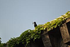 European Starling (David.Sankey) Tags: birding birds birdingnyc rooseveltisland eastriver newyorkcity newyork nycbirding queens