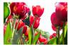 Tulipani rossi - Dalla terra al sole (nicolo.tadiotto) Tags: tulipani tulipanirossi rosso terra sole fioritura fiori primavera nikon parco giardino valeggiosulmincio verona veneto verde nicolòtadiotto sigurtà flickr italia
