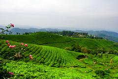 Munnar: Tea Gardens (deepgoswami) Tags: india kerala munnar westernghats teagarden tea