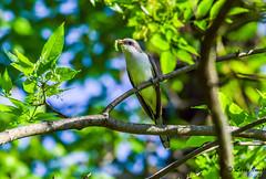 YELLOW BILLED CUCKOO (imeshome) Tags: green north boardwalk yellow billed cuckoo warm nature wildwood lifer cool