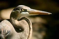 Great Blue Heron (DS ONE) Tags: