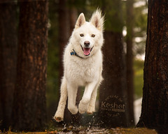 """Picture of the Day (Keshet Rescue) Tags: dog rescue kennel kennels adoption """"dog adoption"""" ottawa ontario canada keshet large breed dogs animal animals pet pets """"blood bank"""" interactive game video husky run happy joy smile tongue"""
