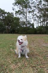 20180425-IMG_3207 (PM Clark) Tags: chihuahua pure bred long coat jezebel sydney australia