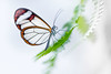 Illumination (SonjaS.) Tags: illumination schmetterling durchsichtig licht hell inselmainau schmetterlingshaus canon6d 100mmmakrocanon frühling spring butterfly insekt schön papillon
