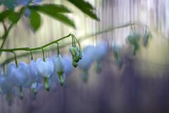 bleeding white (1crzqbn) Tags: 17522018 flowers bleedinghearts white bokeh dof fence inmygarden ♥ nature