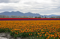Skagit Valley Tulip Field (s.d.sea) Tags: tulips skagit valley tulip festival flowers flower floral grow nature plant plants garden farm field cloudy pnw pacificnorthwest washington washingtonstate mount vernon landscape pentax k5iis colorful roozengaarde spring april travel
