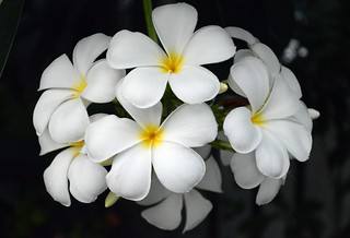 frangipani blossoms in our neighborhood now
