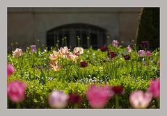 Avril à Sens (afantelin) Tags: burgundy bourgogne yonne sens fleurs tulipes jardin buis couleurs